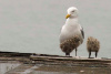 Sea Gull and Her Young